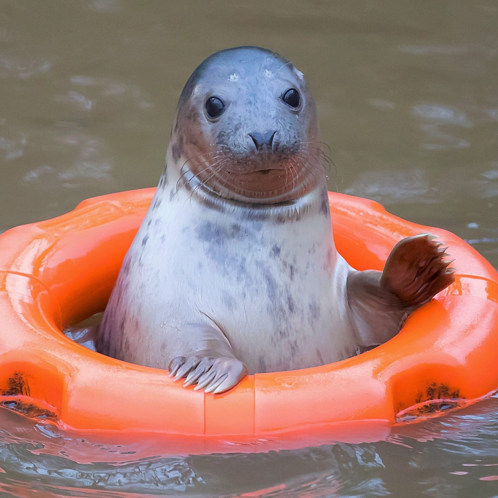 """17/12/2016. Pictured at Courtown Seal Rescue Center, Courtown, Co. Wexford. Pictured is """"Sally"""" the seal. Picture: Patrick Browne"""