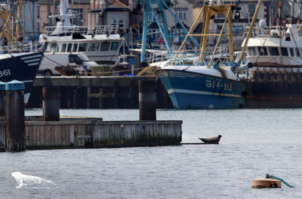 Seal in harbour