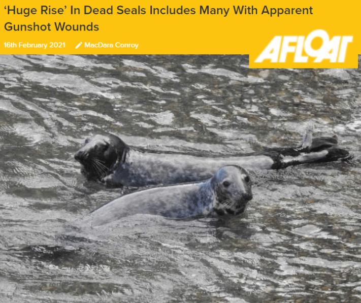 Afloat dead seals cork